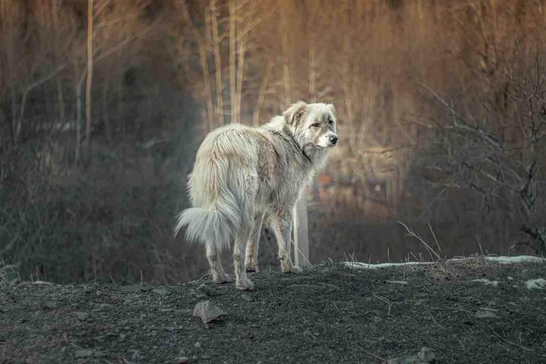 Comment les chiens vivent une séparation