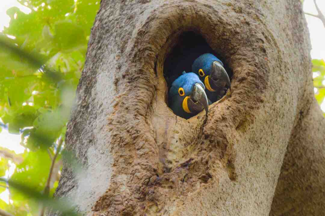 Comment les oiseaux savent faire un nid ?